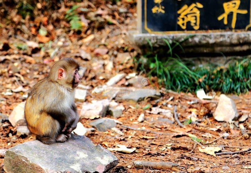 Dziki makak w Zhangjiajie lasu państwowego parku zdjęcie royalty free