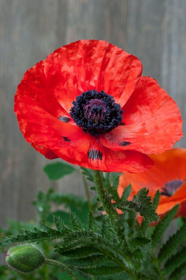 Dziki Makowy Kwiat fotografia stock