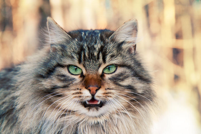 Dziki meowing kot obrazy royalty free