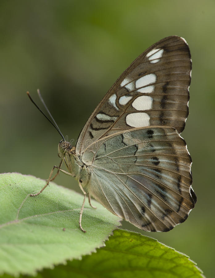 Dziki motyl obrazy stock