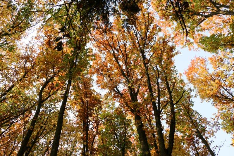 Dziki Naturalny las Starzy Bukowi drzewa w jesieni obrazy royalty free