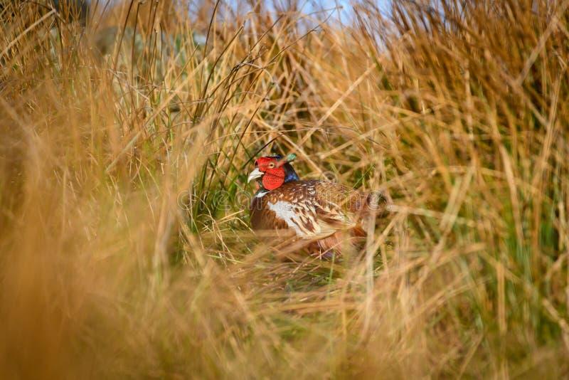 Dziki necked bażant w naturalnym siedlisku płochy i trawy na moorland w Yorkshire dolinach, UK zdjęcia royalty free