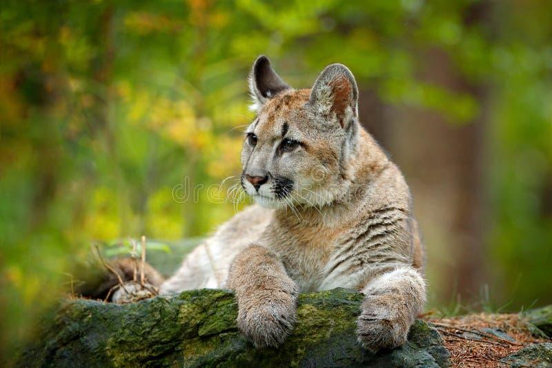 Dziki niebezpieczeństwa zwierzę w zielonej roślinności Dużego kota kuguar, pumy concolor, chujący portret niebezpieczny zwierzę z fotografia royalty free