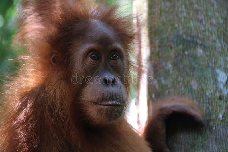 Dziki Orang Utan w dżungli obraz stock
