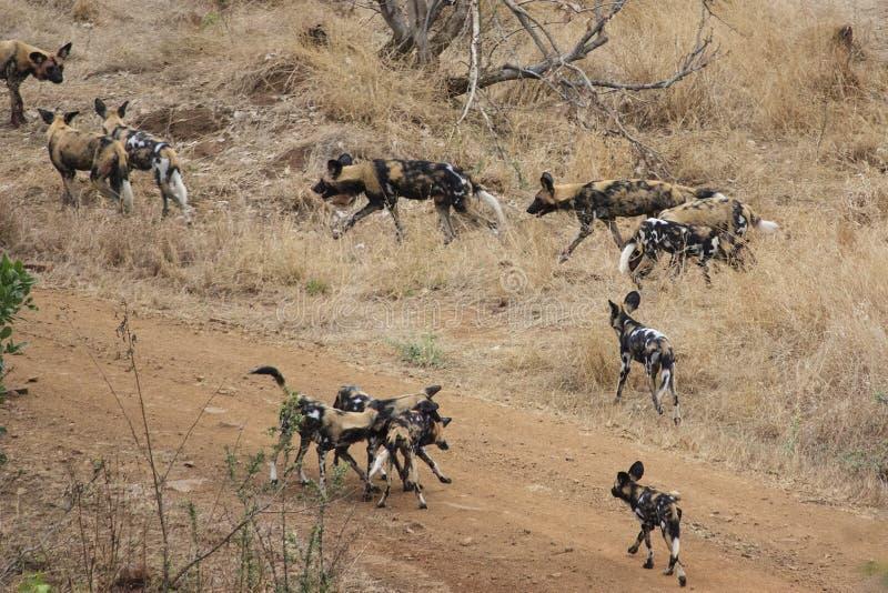 dziki pies afryki zdjęcie stock