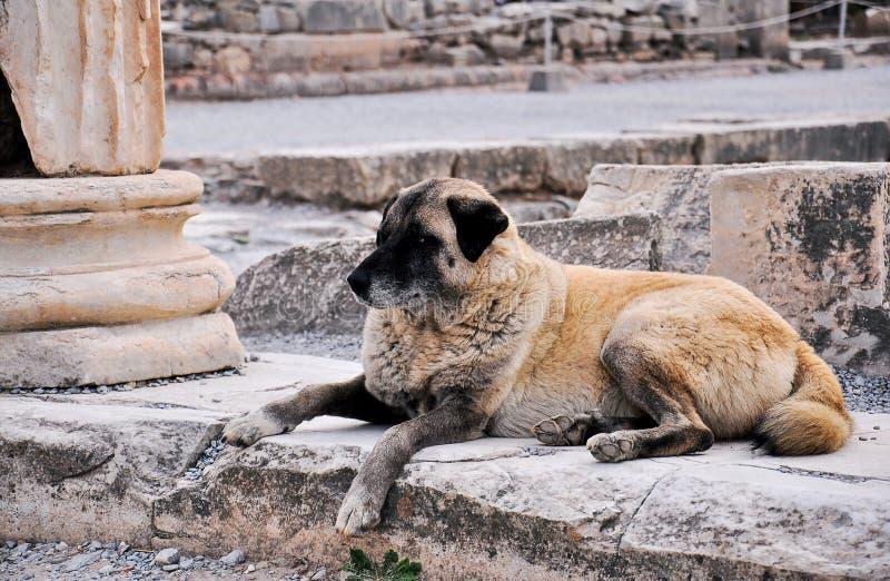 Dziki pies w Ephesus zdjęcie royalty free