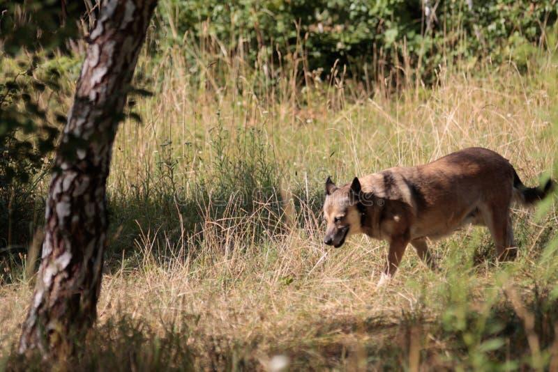 Dziki pies w polu zdjęcia royalty free