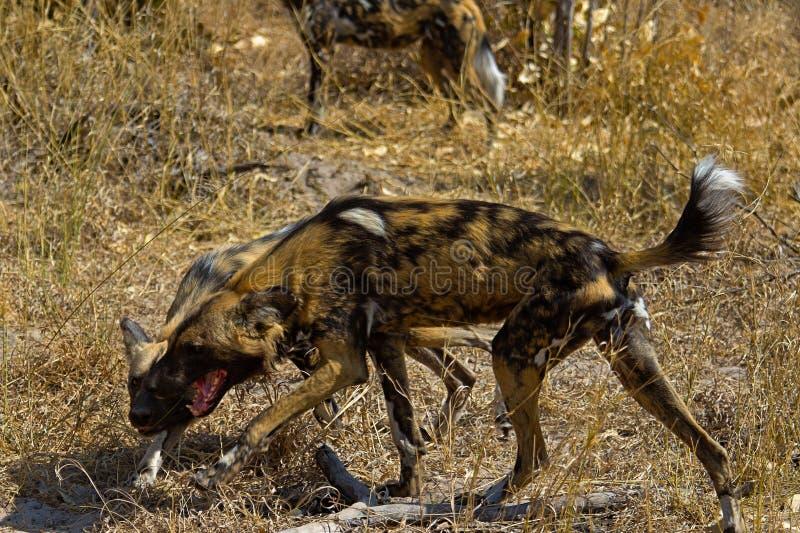 Dziki pies w Tanzania parku narodowym zdjęcie royalty free