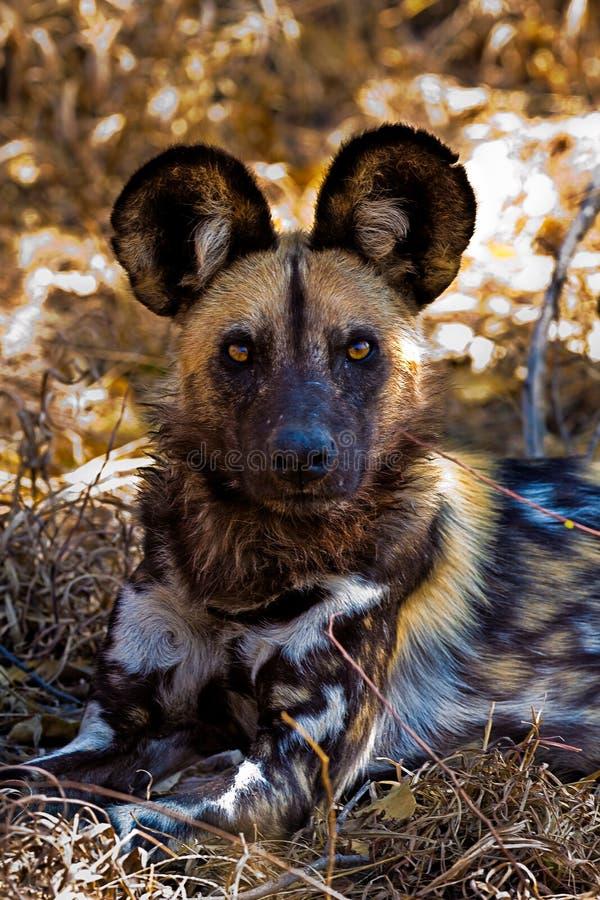 Dziki pies w Tanzania parku narodowym fotografia royalty free
