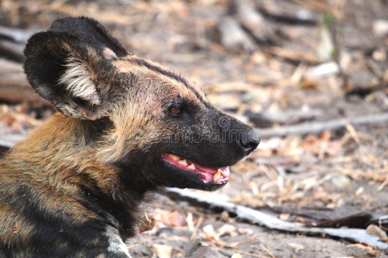 Dziki pies w Tanzania parku narodowym zdjęcia stock