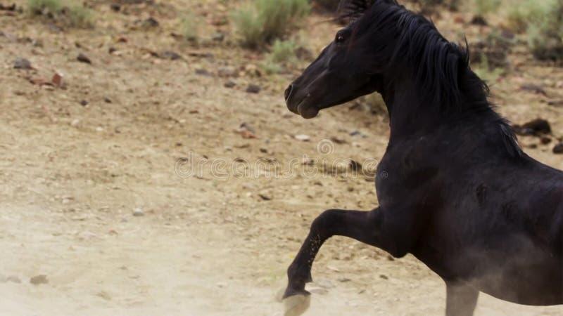 Dziki podpalany mustang Onaquai dzikiego konia stado Stojący stoically w pustyni Nevada, Zlani stany zdjęcie royalty free