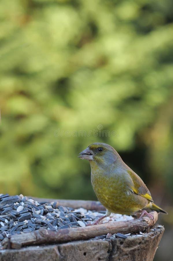 Dziki ptasi czyżyk fotografia royalty free