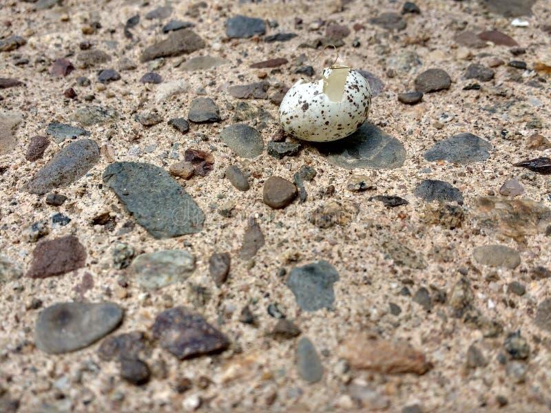 Dziki Ptasi jajko Klujący się Otwarty obrazy royalty free