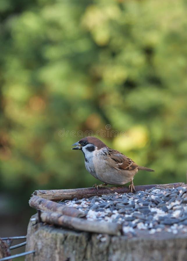 Dziki ptasi wróbel zdjęcia stock