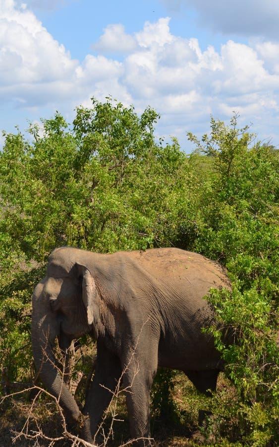 Dziki słoń cieszy się zachodem słońca zdjęcia stock