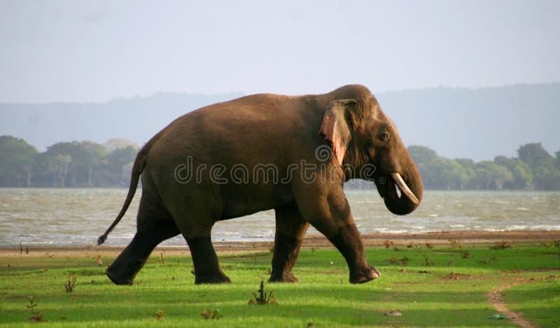 Dziki słoń przy wieczór obrazy stock