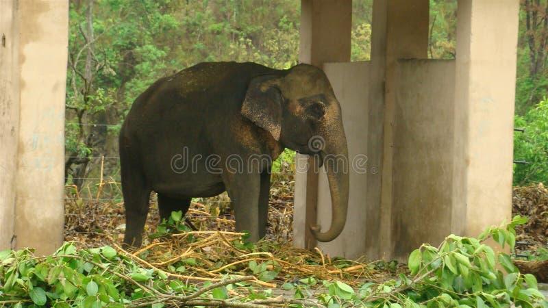 Dziki słoń w rehabilitaci obrazy stock