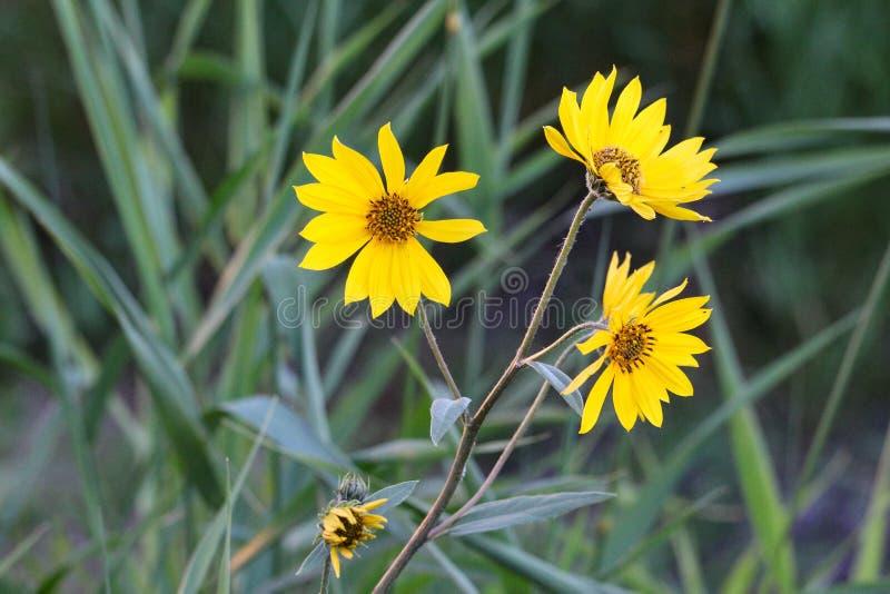 Dziki słonecznikowy triumwirat obraz stock