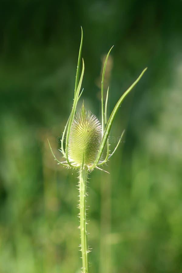 Dziki teasel lub Dipsacus fullonum w pełni zielona roślina z obraz royalty free