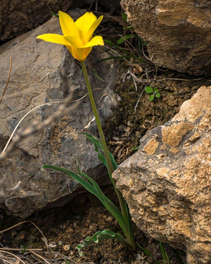 Dziki tulipan obraz stock