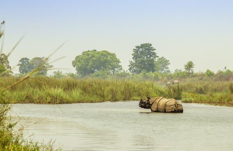 Dziki uzbrajać w rogi nosorożec kąpanie w Bardia parku narodowym, Nepal zdjęcie royalty free