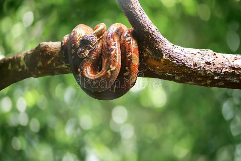 Dziki wąż na zielonym bokeh opuszcza backround mi?o?? pardwy piosenka dziki drewna natury zdjęcia royalty free