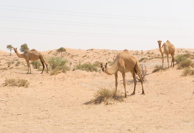 Dziki wielbłąd w gorącej suchej bliskowschodniej pustyni, Dubai, uae zdjęcia royalty free