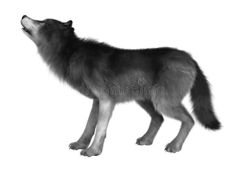 Dziki wilk na bielu obrazy royalty free