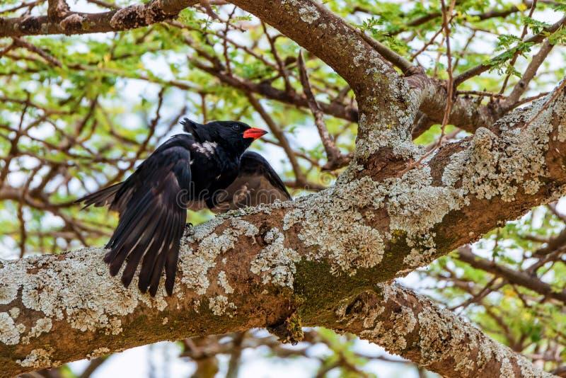 Dziki wystawiający rachunek bawoli tkacz Niger lub Bubalornis zdjęcie royalty free