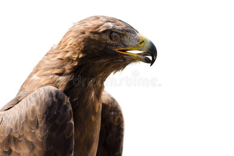 Dziki złotego orła profilu portret odizolowywający obrazy stock