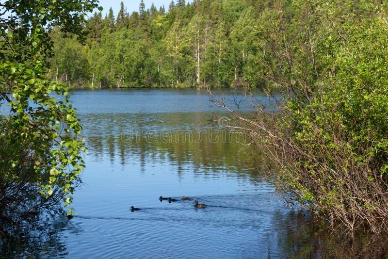Dzikich kaczek dowodzeni kaczątka na pierwszy spacerze zdjęcie stock