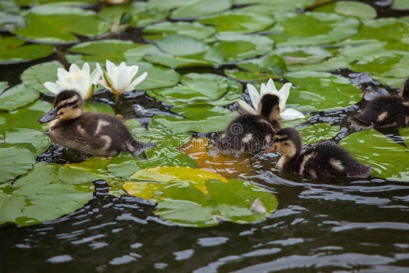 Dzikich kaczek kaczątek Anas platyrhynchos obraz stock