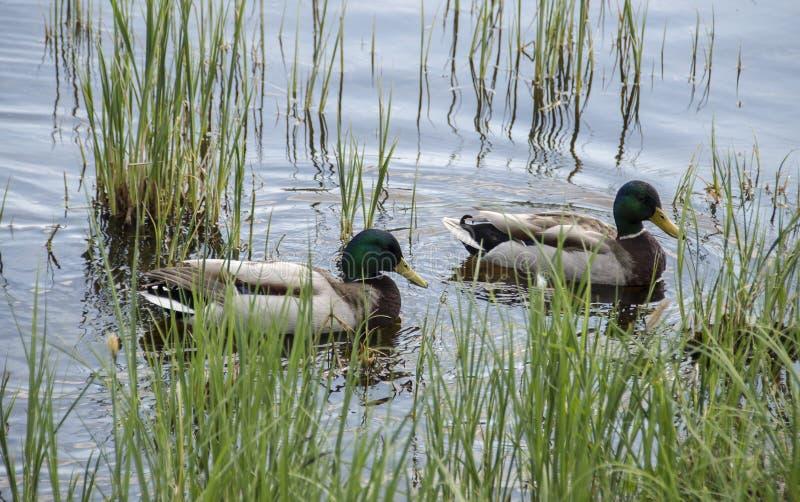 Dzikich kaczek pływać zdjęcie royalty free