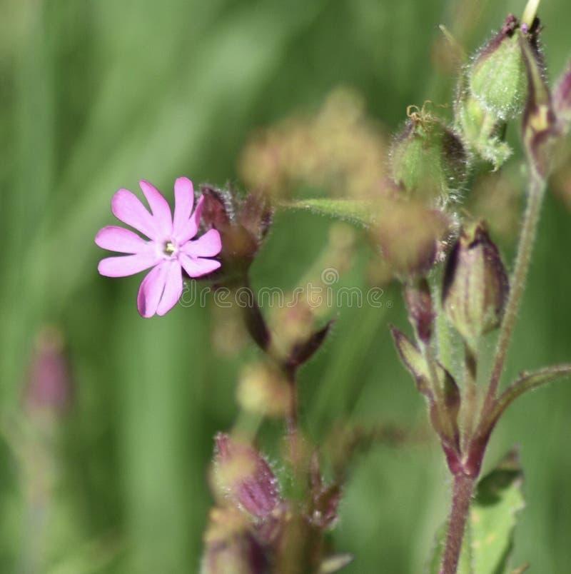 Dzikich menchii kwiat zdjęcia stock