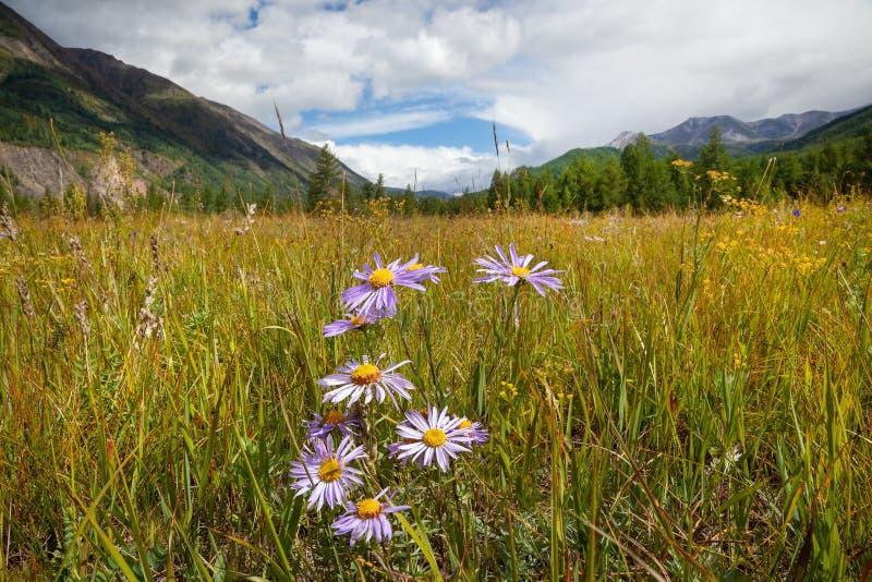 Dzikich menchii kwiaty chamomile wśród zielonej łąkowej trawy na góry tle, horyzontalni zdjęcie royalty free