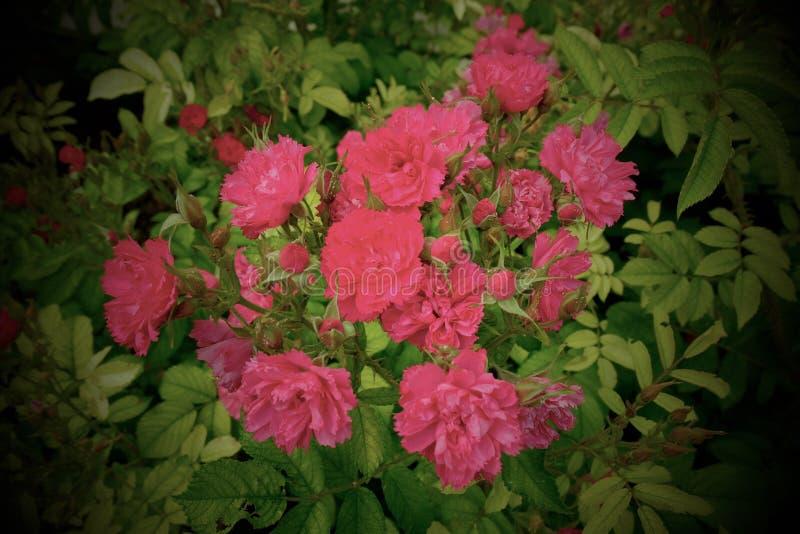 Dzikich menchii róże - Paryż, Francja zdjęcie royalty free