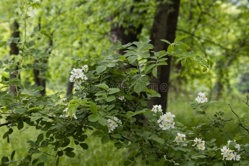 Dzikie czernicy kwitnie w niezwykle zielonym głębokim lesie w wczesnym lecie - zamazuje tło obraz royalty free