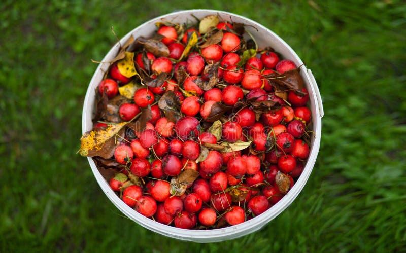 Dzikie czerwone jabłka na trawie zdjęcia stock