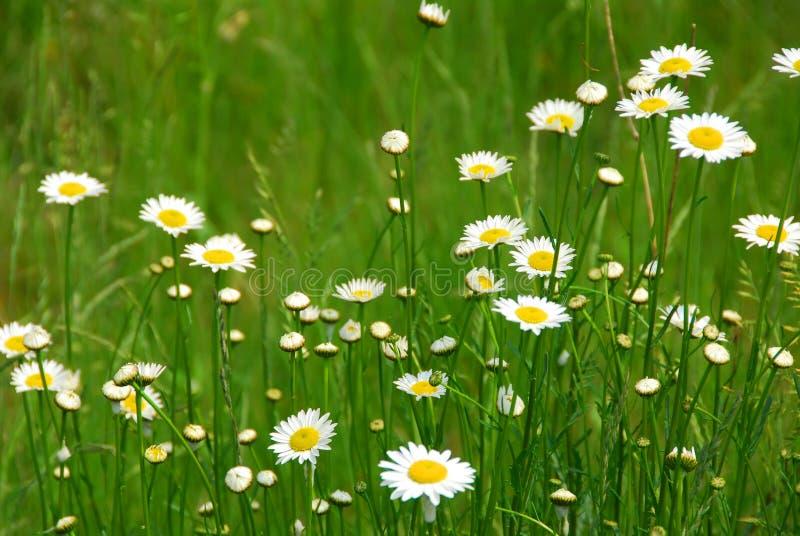 dzikie daisy zdjęcia royalty free