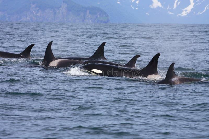 dzikie grupowe orki zdjęcie stock
