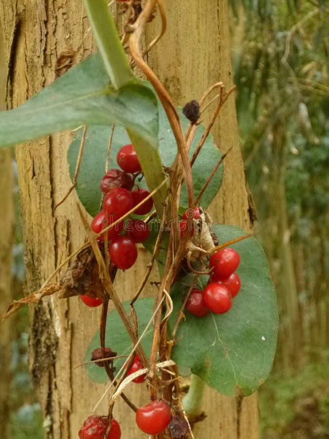 Dzikie jagody blisko drzewa w lesie fotografia royalty free