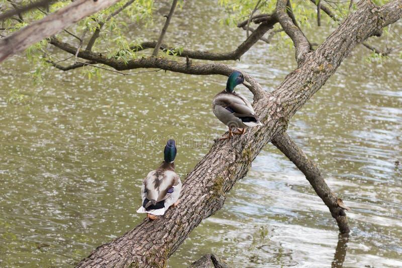 Dzikie Kaczki, męscy mallards rzeką z zieleni wodą zdjęcie royalty free