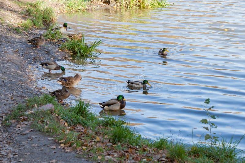 Dzikie kaczki na stawie w miasto parku w pogodnym jesień dniu zdjęcia stock