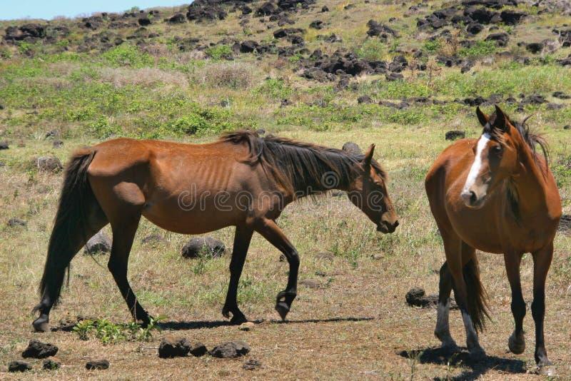 dzikie konie obraz stock