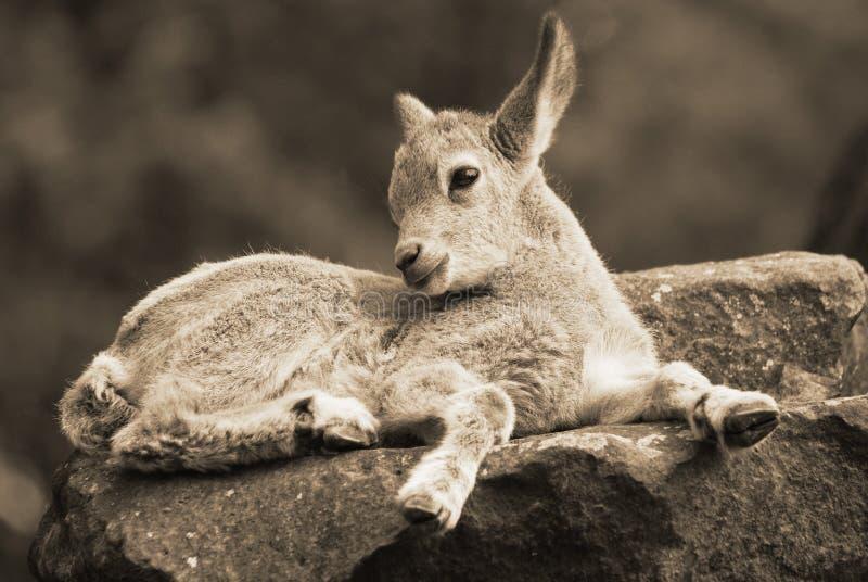 dzikie kozy zdjęcia royalty free