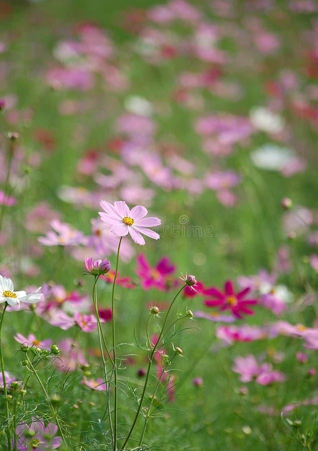 dzikie kwiaty kosmosu pole obraz stock
