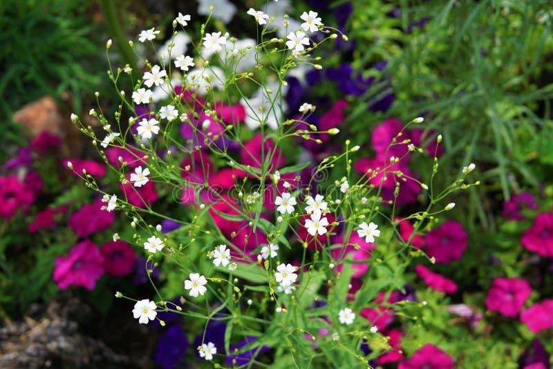dzikie kwiaty Wiele mali biali kwiaty w przedpolu przeciw tłu purpurowi wielcy kwiaty zdjęcia royalty free