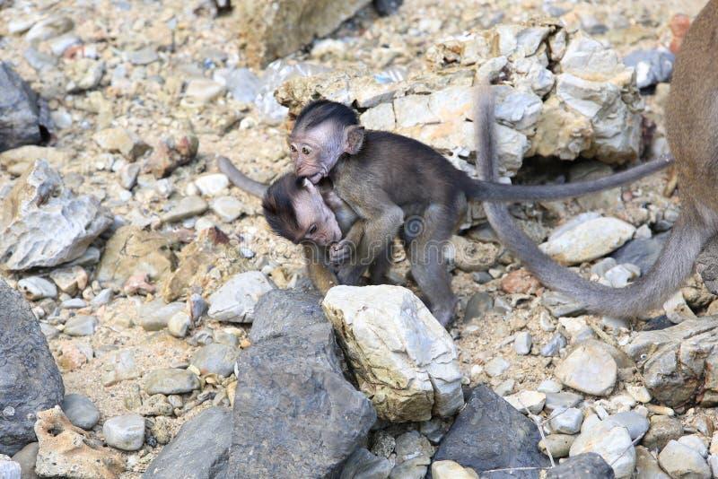 Dzikie małpy na wyspie Landkawi, Malezja zdjęcie stock