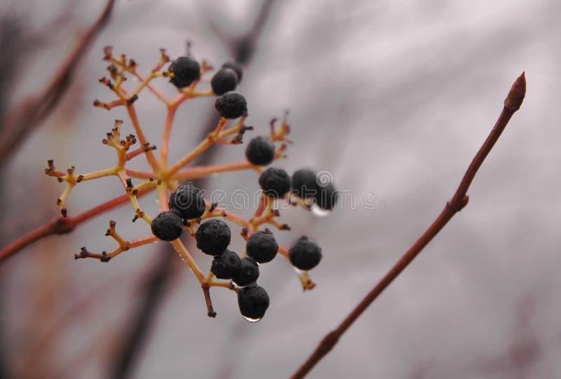 dzikie owoce jagodowe obrazy royalty free