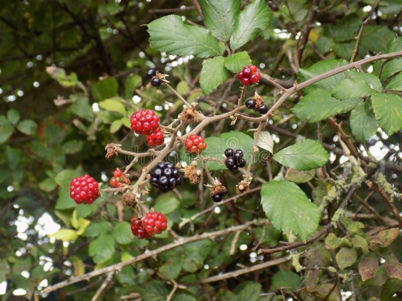 dzikie owoce jagodowe fotografia stock